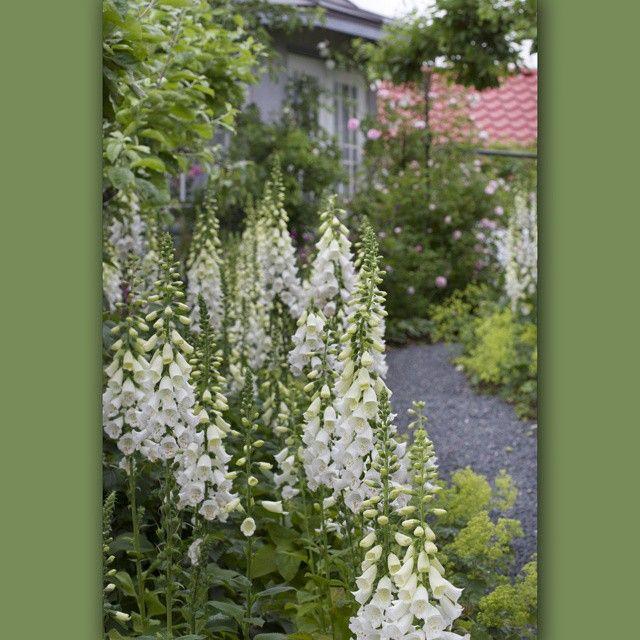 #whitedigitalis #lovewhiteflowers #cottagegarden #nofilter #hviteblomster #levlandlig