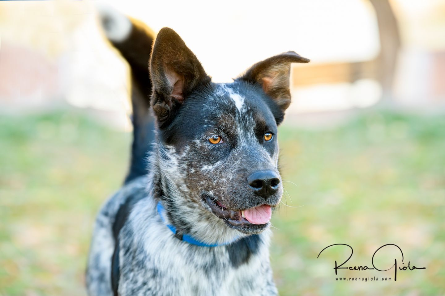 Adopt Daisy on Rescue dogs, Dogs, Australian cattle dog