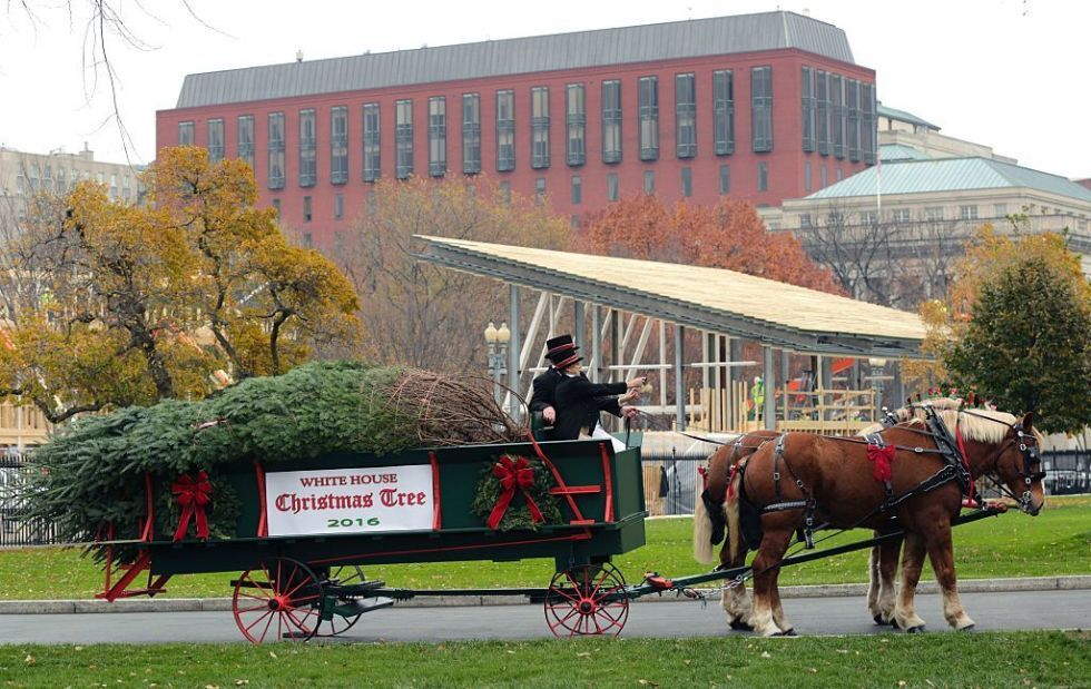 The official White House Christmas Tree is delivered - a 19 feet tall Balsam fir.