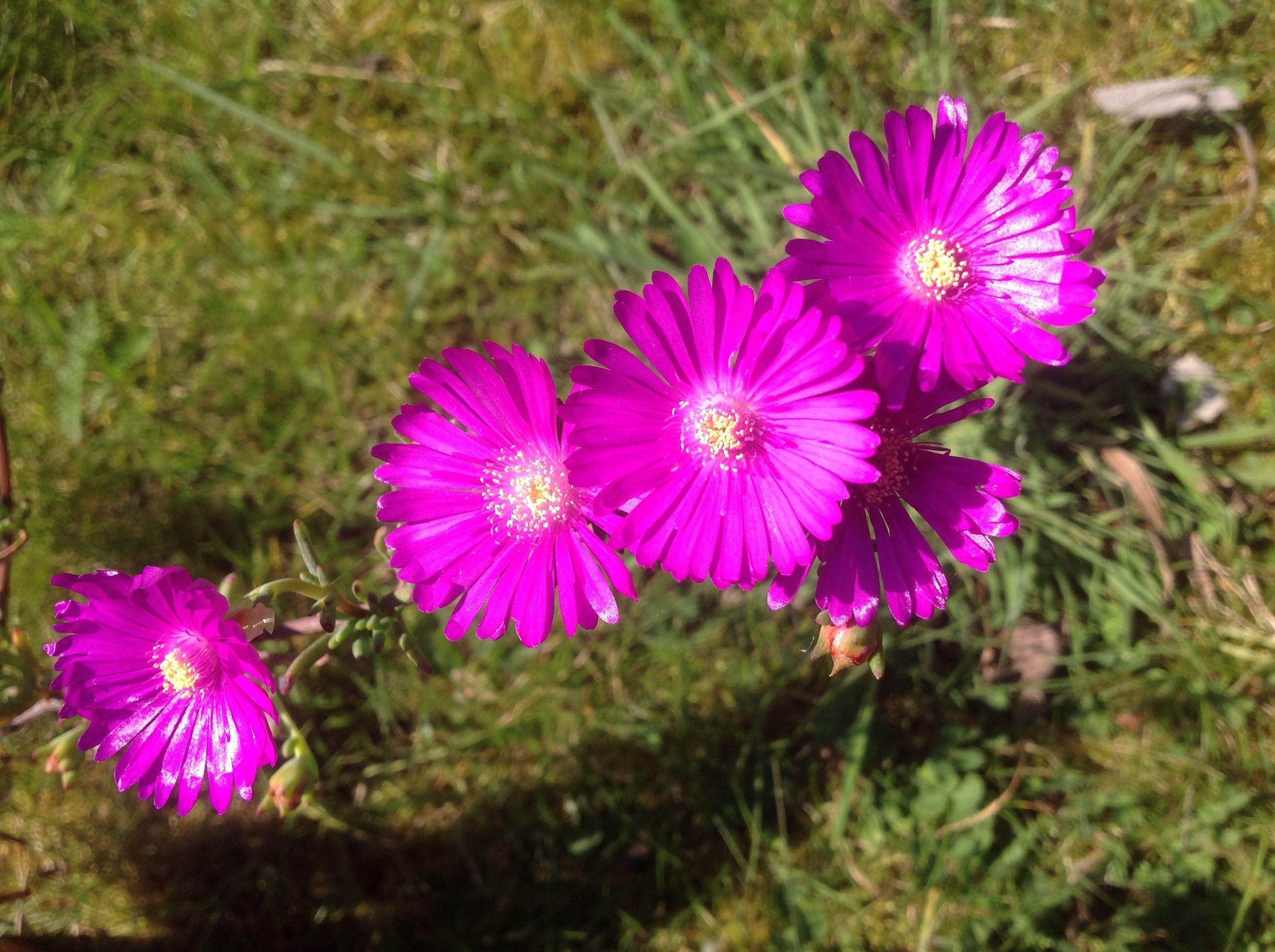 Flower rosa mesembryanthemum