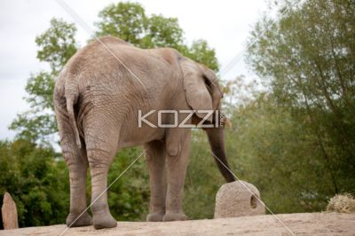 african elephant - African elephant is the largest animal on display in the zoo.