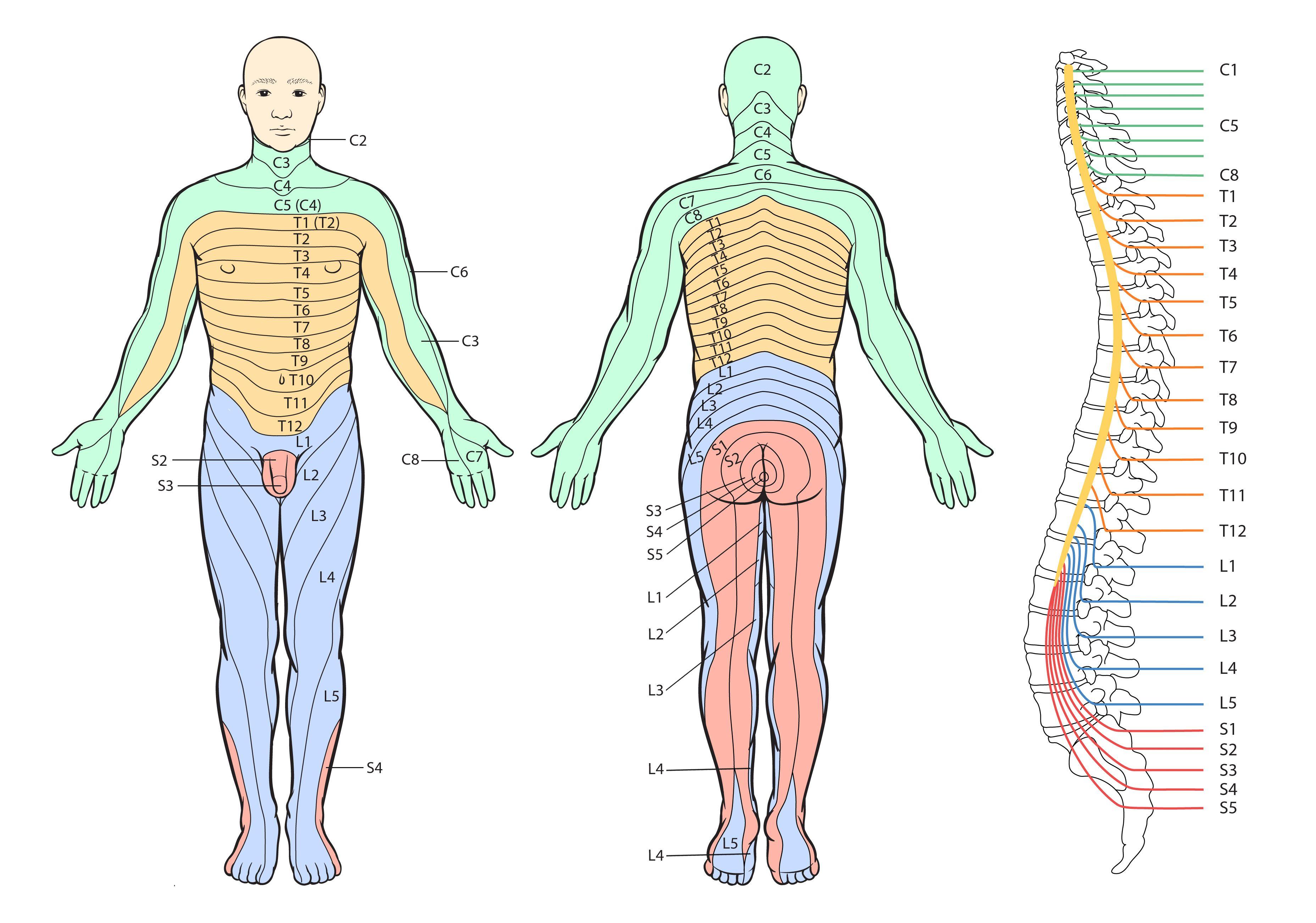 Dermatome | Kinesiology | Pinterest