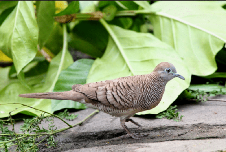 Cara Perawatan Burung Perkutut Mabung Agar Cepat Selesai Burung Binatang Hewan
