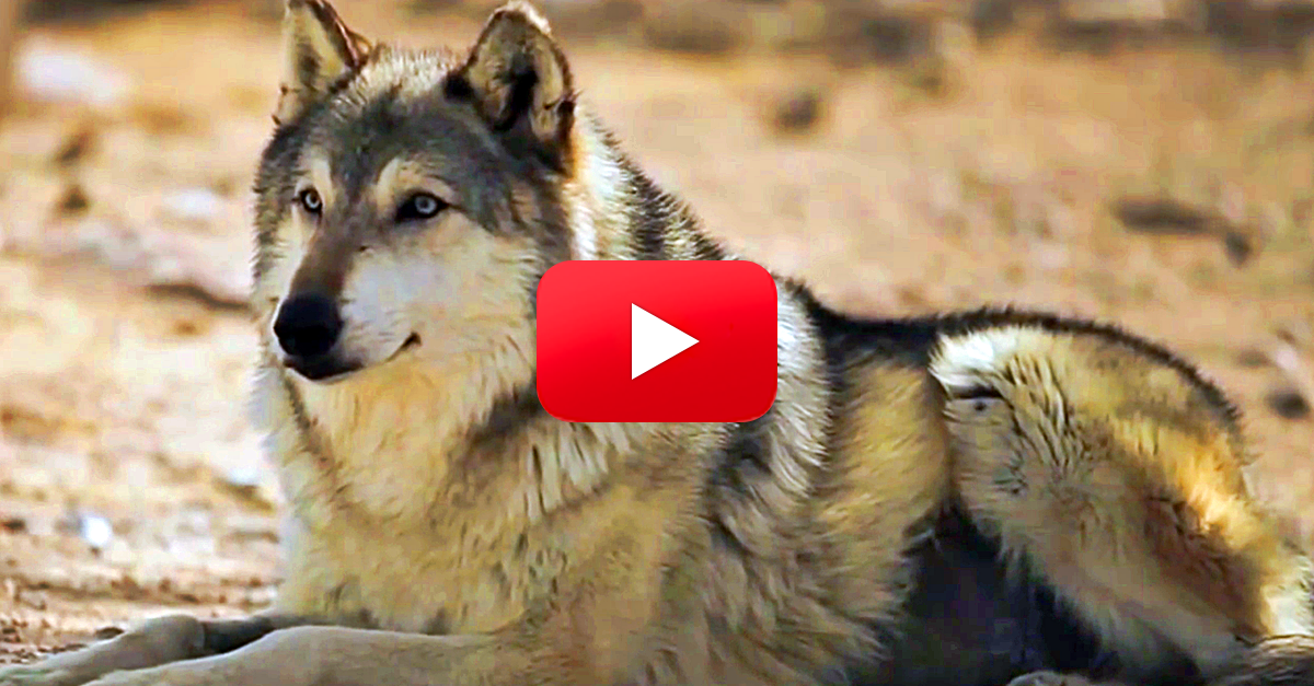 You Won't Believe How Reintroducing Wolves to Yellowstone Changed Everything…