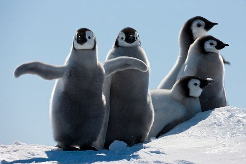 Youg Emperor penguins by Paul Goldstein