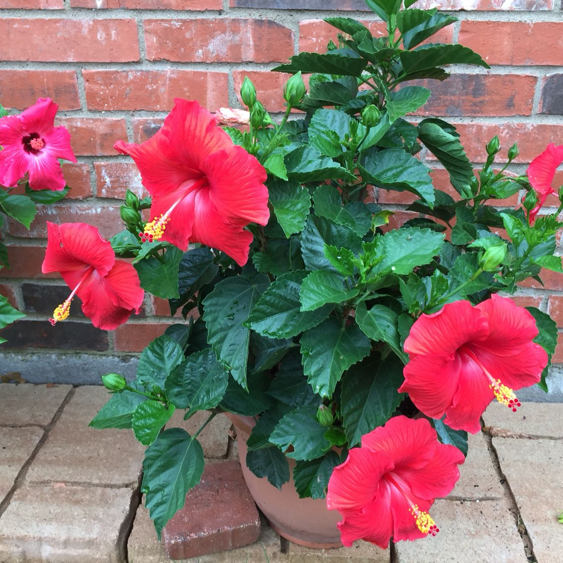 The time is right for blooms on the hibiscus plant blooms and the time is right for blooms on the hibiscus plant izmirmasajfo