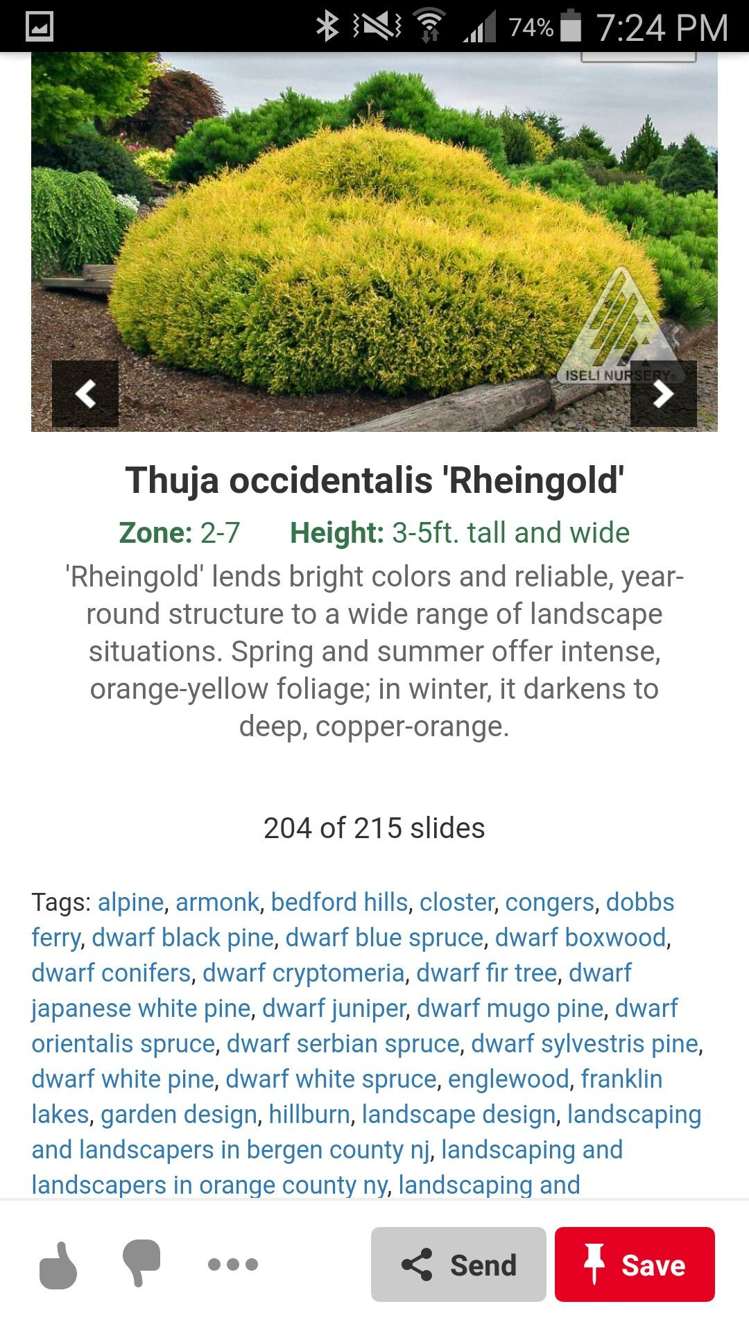 Pin By Tricia On Front Yard Plants Front Yard Plants Thuja Occidentalis Foliage