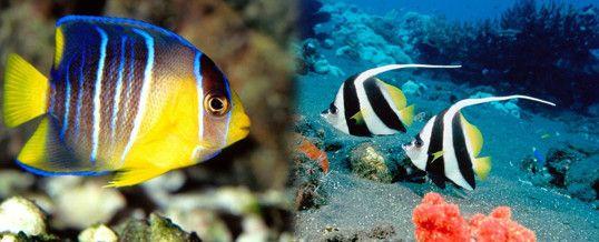 Peces tropicales peces pinterest tropical especies for Peces tropicales
