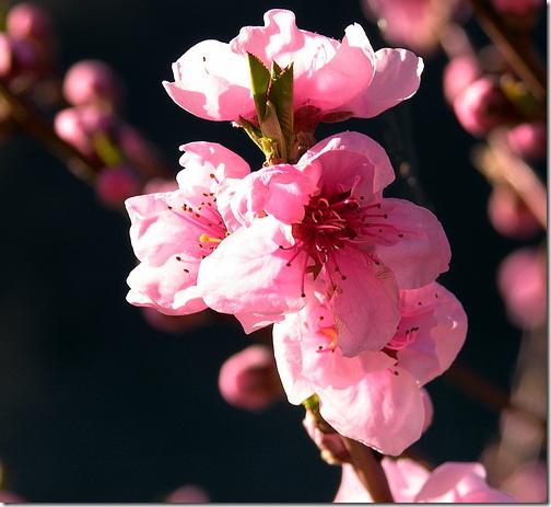 Japanese Peach Tree Flowers