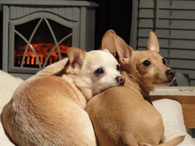 Picture My Sweet Chihuahuas Enjoying My New Heater Stove