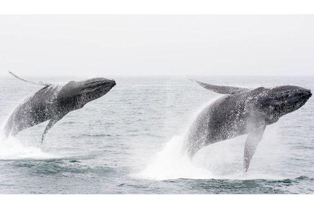 Rare humpback whale double breach caught on camera