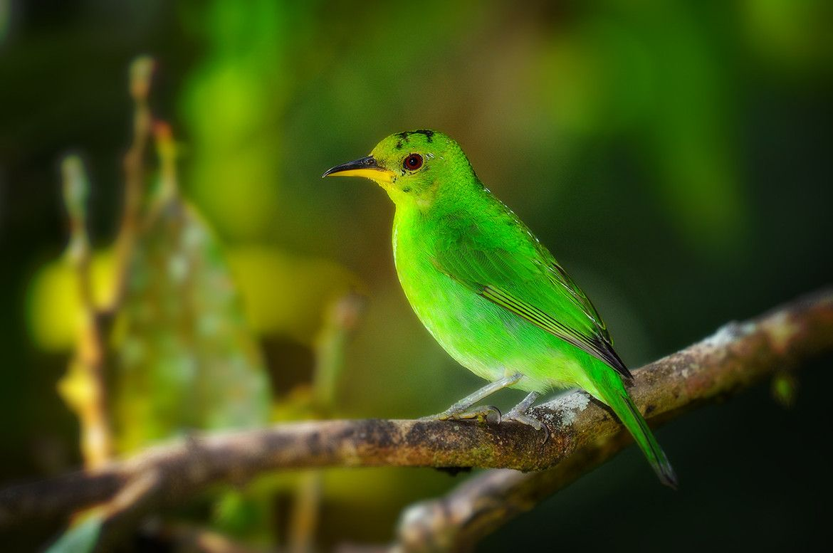 Honeycreeper