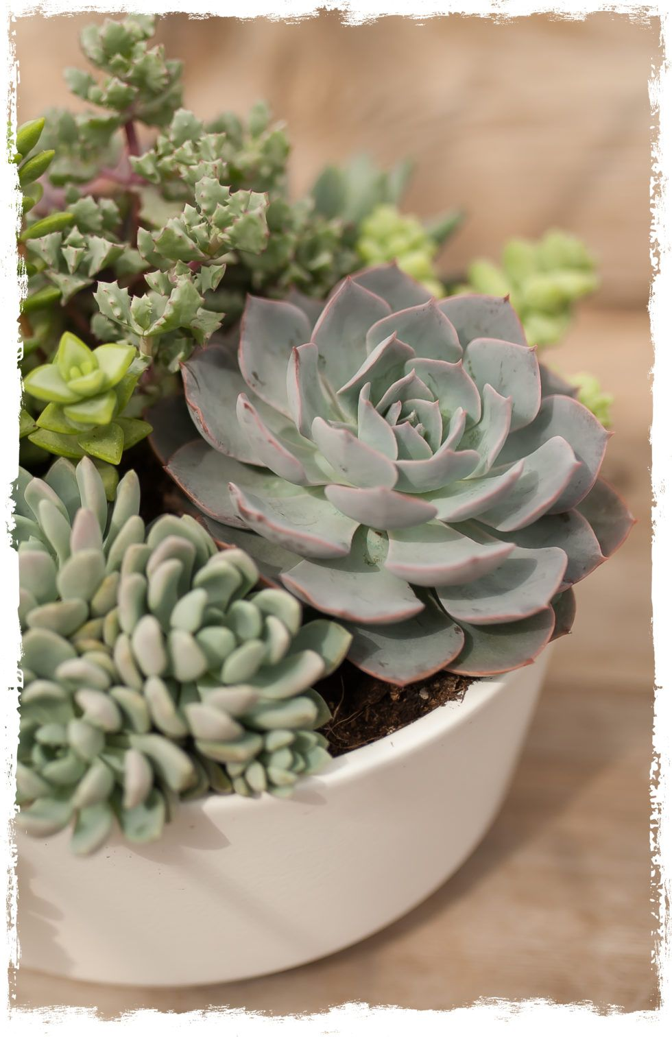 Succulent Lookbook West Coast Gardens Surrey Bc We Grow All Our Own Succulents In House Surreybc Vancouver