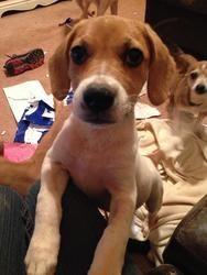 Adopt Genie On Beagle E Funny