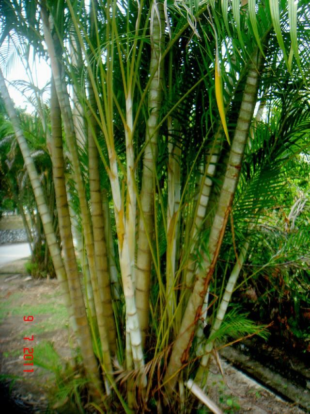 Growing areca palms indoors as houseplants palm plants for Pictures of areca palm plants