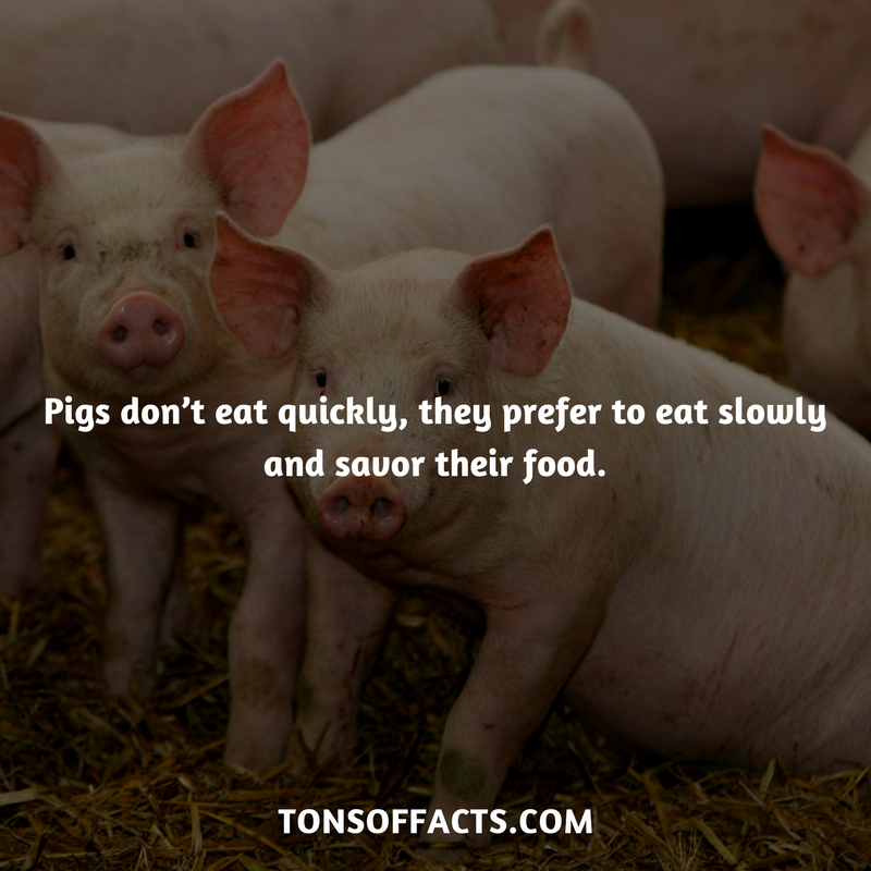 Pigs don't eat quickly, they prefer to eat slowly and savor