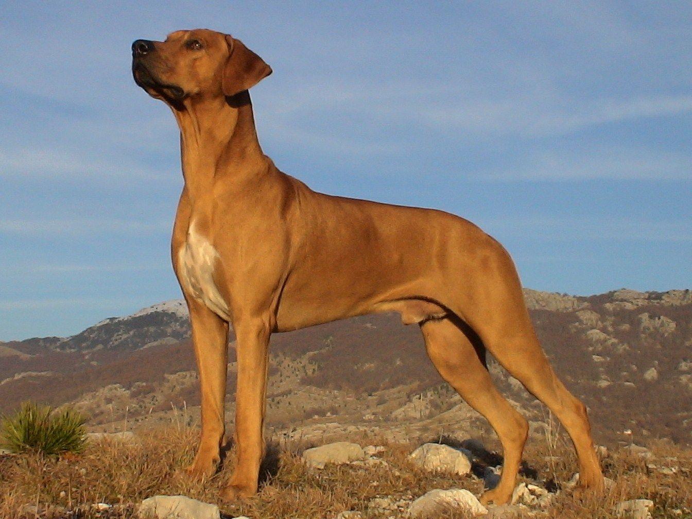 Rhodesian Ridgeback Rhodesian Ridgeback Dogs Large Dog Breeds Rhodesian Ridgeback Rhodesian Ridgeback Dog