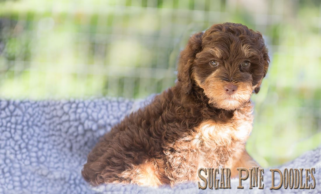 Available Puppies Sugar Pine Doodles Australian Labradoodles