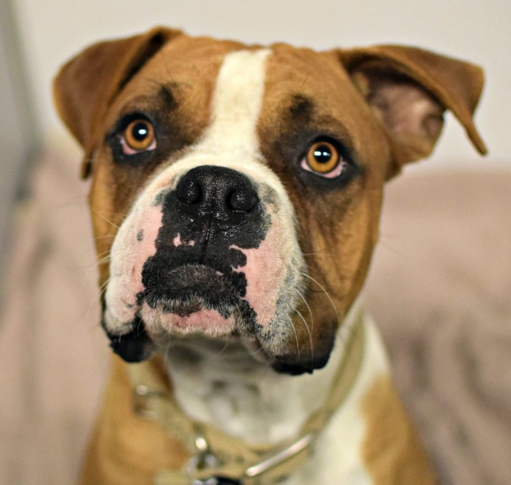 Adopt Tuba On Animal Rescue League Help Homeless Pets Dog Adoption