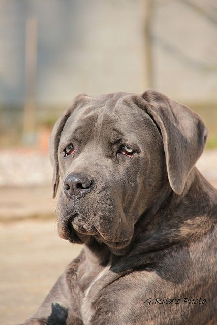 Cane Corso Puppy Without Cropped Ears He Is Cute Cane Corso Dogs Cane Corso Dog