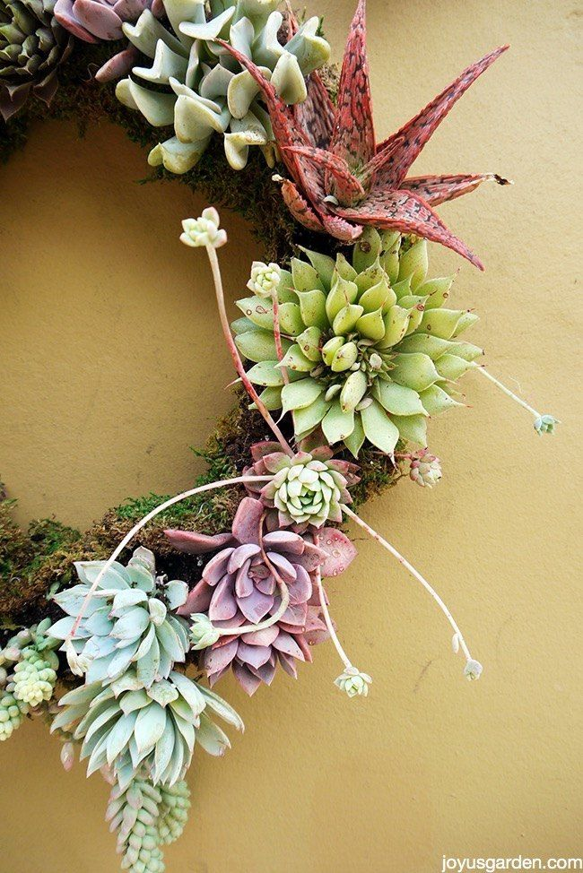 You can make this gorgeous wreath in 5 easy steps and under one hour![media_id:3390591]As you know, I'm a succulent maniac.  I have a lot of them planted in m…