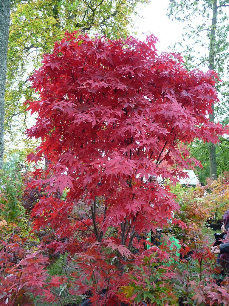 rable du japon acer palmatum en tenue d automne carlate. Black Bedroom Furniture Sets. Home Design Ideas
