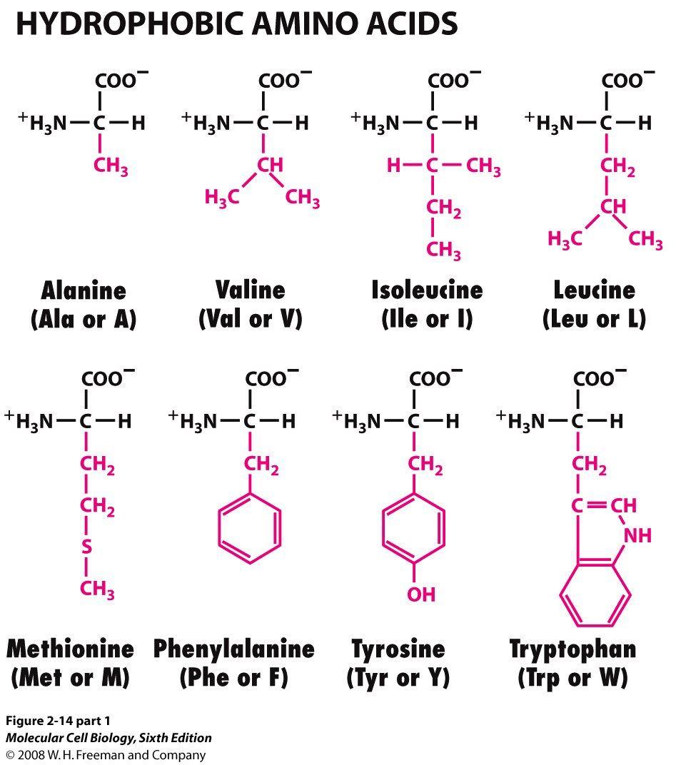 Hydrophobic Amino Acids