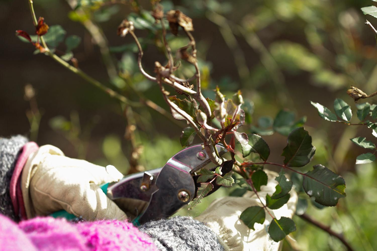 How to prune rose bushes via wikihow gardeningtipsprotect