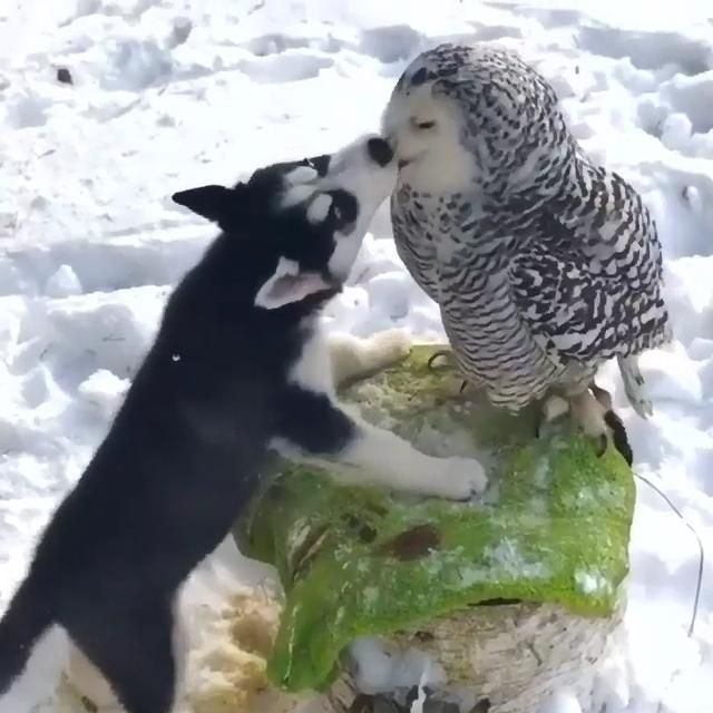 Dog kisses the owl #dog #owl #dogvideo #owlvideo #
