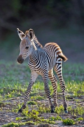 Africa, South Luangwa National Park. Common or Burchell's Zebra foal. A race or…