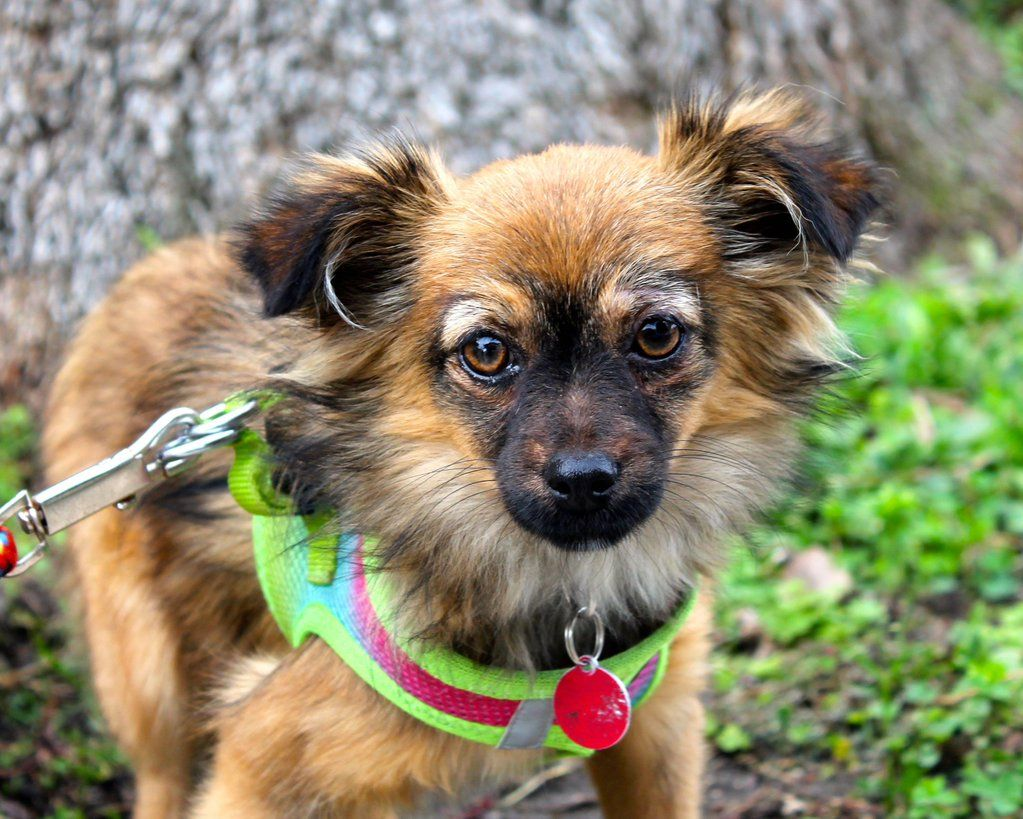 Gayweho Dogs 4 U On With Images Pomeranian Chihuahua Mix