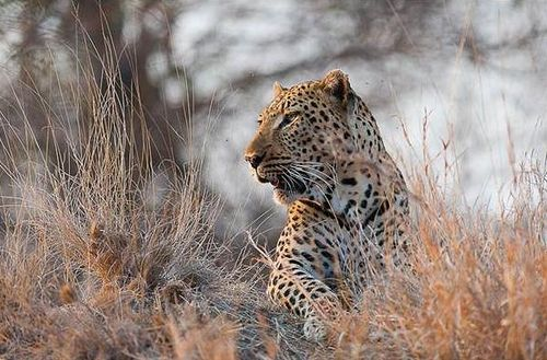 Leopard. Quote & Book:http://www.south-african-hotels.com/