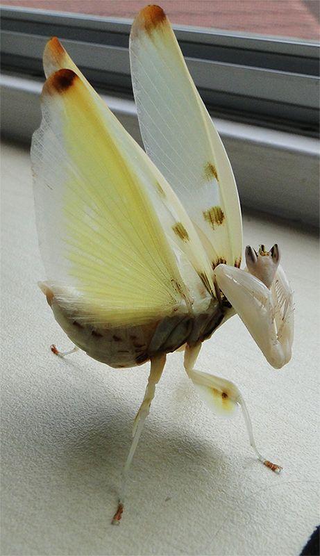 Love The Pose Adult Female Hymenopus Coronatus Orchid Mantis In