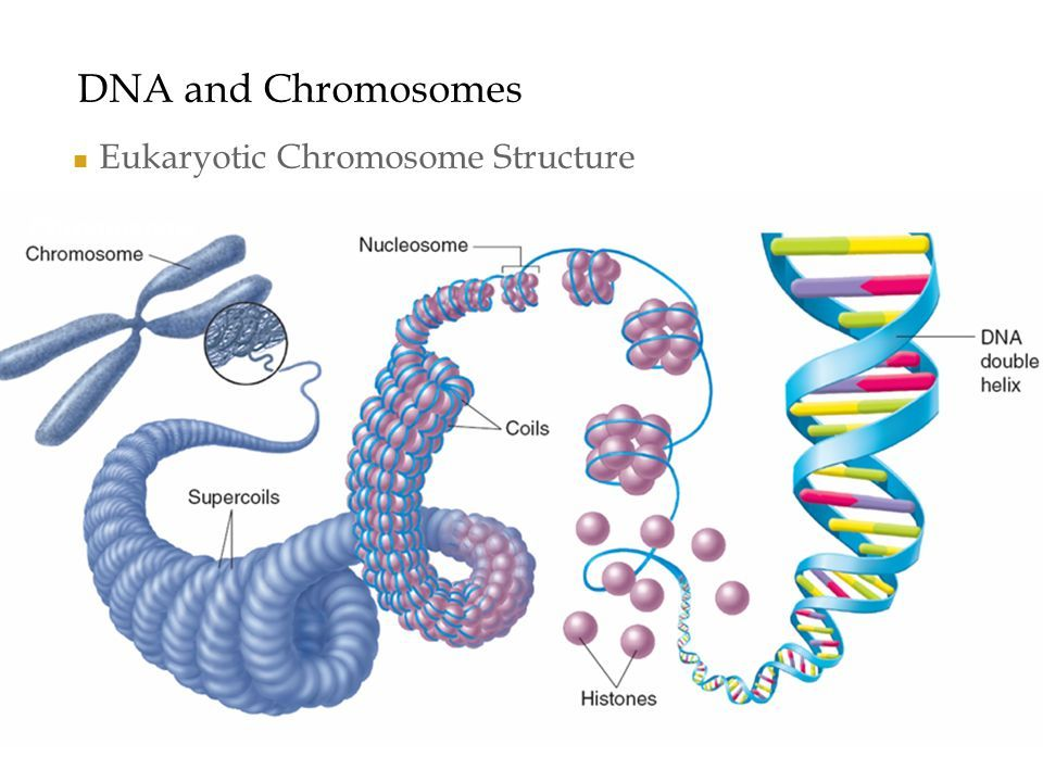 Image Result For Structure Of Chromosome