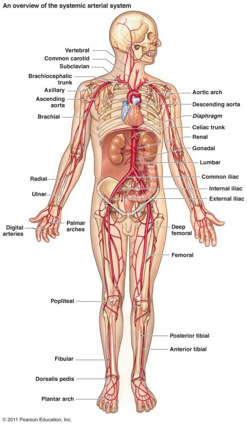 Human Anatomy Map