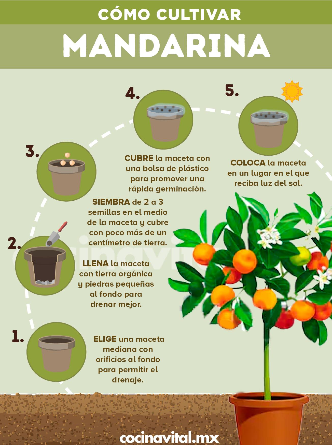 Cómo Sembrar Mandarinas En Casa Cocina Vital Qué Cocinar Hoy Cultivo De Plantas Jardinería De Hortalizas En Macetas Cultivo De Hortalizas