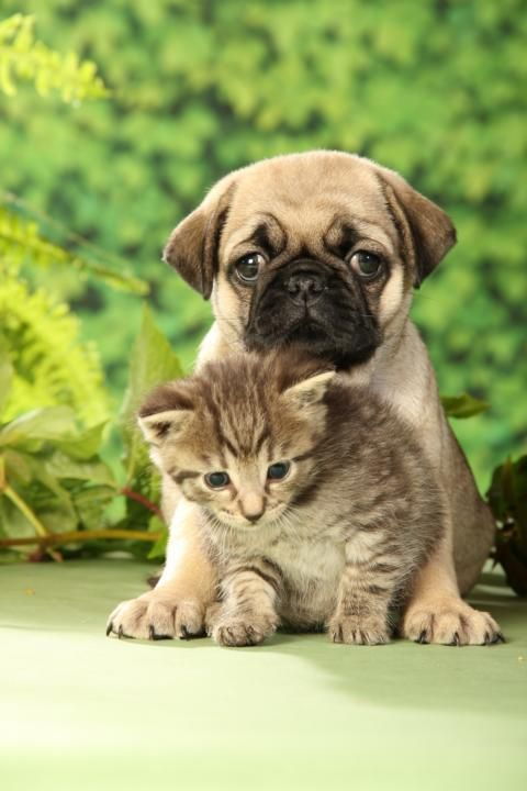 Pug And Kitten Cute Pugs Puppies And Kitties Cute Animals