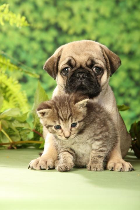 Pug and Kitten