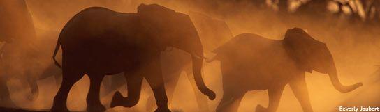 Elephants at dusk :: Joubert, Panoramic [AWF]