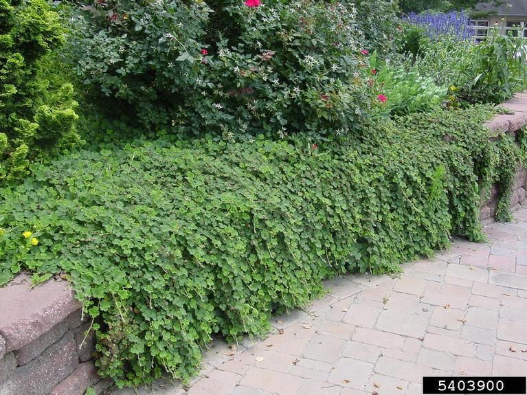 Creeping Raspberry Extremely Drought Amp Heat Tolerant