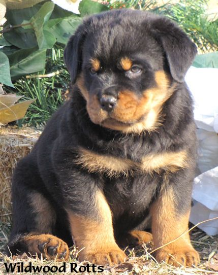 Rottweiler Loving Confident And Loyal Puppies Rottweiler Dog
