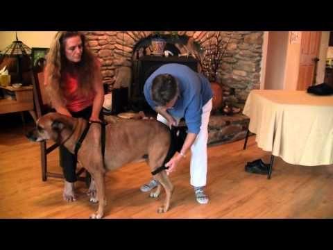 Orthodog Hip Hound Instructional Video Youtube Hound Dogs