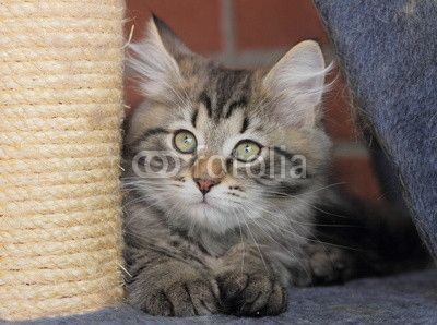 #brown #kitten of #siberian #breed #pets #cats #gatti - sold on @fotolia