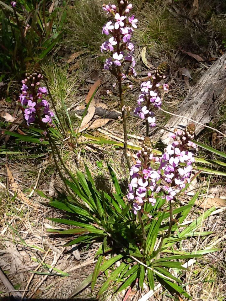common triggerplant  stylidium armeria subsp  armeria  native to south