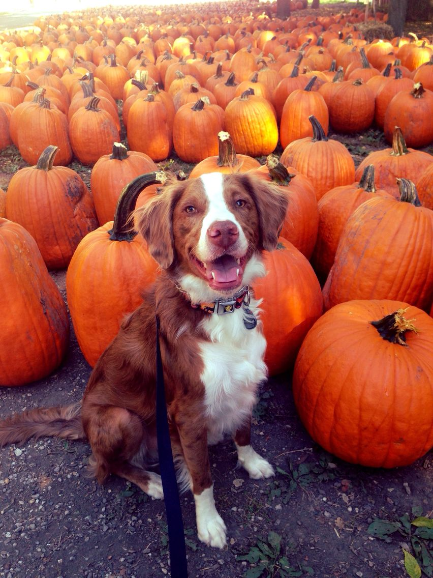 Just chilling at the pumpkin patch barkpost Dog pumpkin