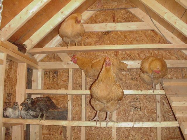 Homepage Chicken Roost Chickens Backyard Chicken Coop