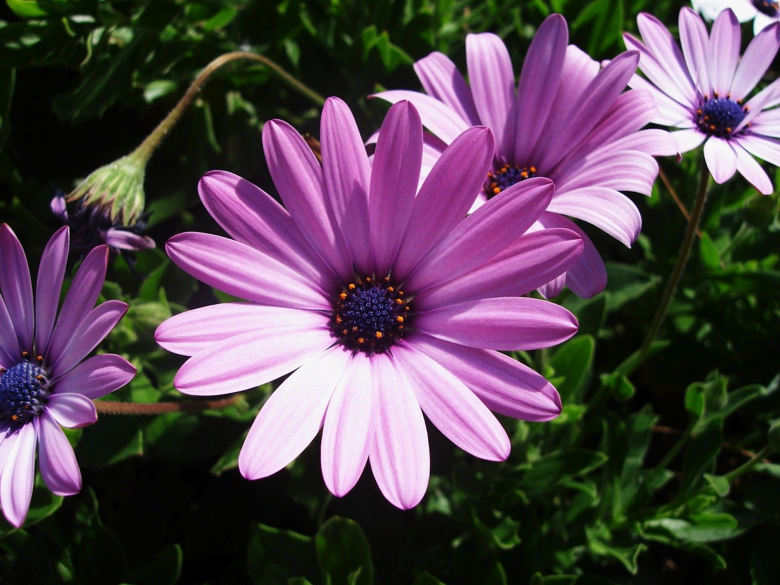 September Birth Flower Aster Scotland The September: flowers that bloom in september