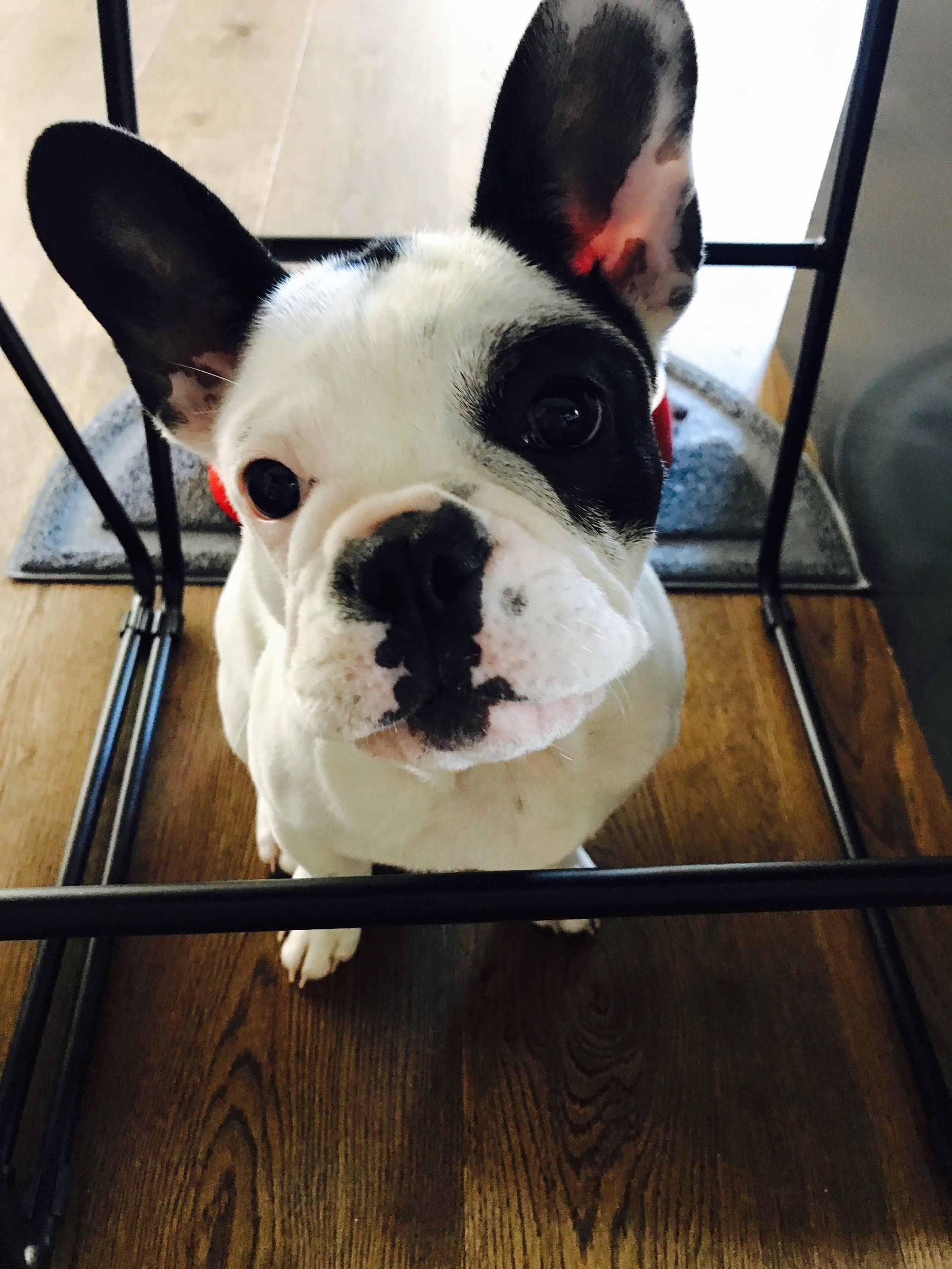 Pin About French Bulldog Animals And Dogs On Animals