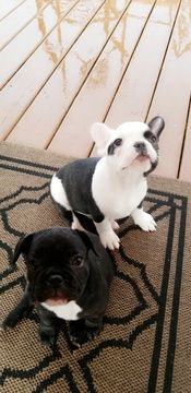 French Bulldog Puppy For Sale In South Elgin Il Adn 47701 On