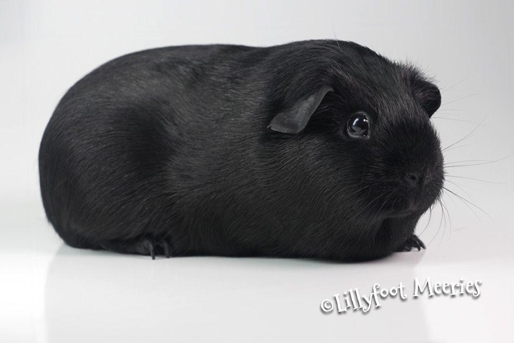 Meerschweinchen Rassen Wikipedia